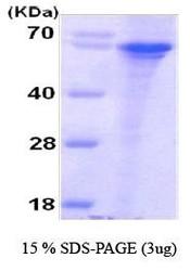 NBC1-18350 - Syntaphilin / SNPH