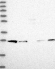 NBP1-86985 - Syntaxin 12 / STX12