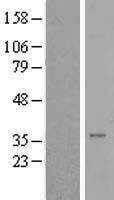 NBL1-16575 - Syntaxin 16 Lysate