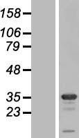 NBL1-16579 - Syntaxin 1B Lysate