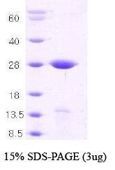 NBC1-18338 - Syntaxin 1A / STX1A