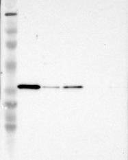 NBP1-86984 - Syntaxin 3 / STX3