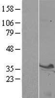 NBL1-16581 - Syntaxin 3 Lysate