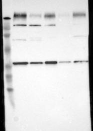 NBP1-87374 - Syntaxin 4 / STX4