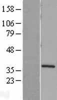 NBL1-16582 - Syntaxin 4 Lysate