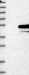 NBP1-80771 - Syntaxin 5 / STX5