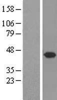 NBL1-16583 - Syntaxin 5 Lysate