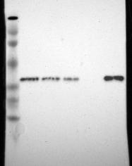 NBP1-87497 - Syntaxin 7 / STX7