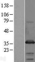 NBL1-16584 - Syntaxin-6 Lysate
