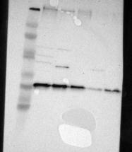 NBP1-91152 - Syntaxin 8 / STX8