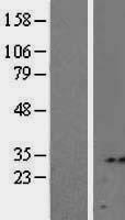 NBL1-15762 - Syntenin 2 Lysate