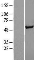 NBL1-16297 - Syntrophin alpha 1 Lysate