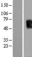 NBL1-16745 - T-box 19 Lysate