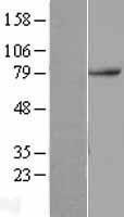 NBL1-12857 - TAB2 Lysate