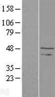 NBL1-16684 - TAF148 Lysate