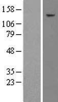 NBL1-16686 - TAF2 Lysate