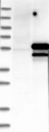 NBP1-80704 - TAF7