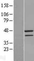 NBL1-16688 - TAF7 Lysate