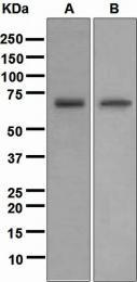 NBP1-95570 - NR2C2