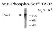 NB300-233 - TAO kinase 2 (TAOK2)