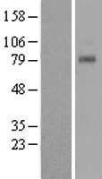 NBL1-16705 - TAS1R1 Lysate