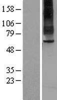 NBL1-16706 - TAS1R2 Lysate