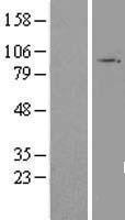 NBL1-16707 - TAS1R3 Lysate