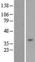 NBL1-16709 - TAS2R40 Lysate