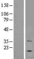 NBL1-16712 - TAS2R7 Lysate