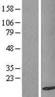 NBL1-16717 - TAX1BP3 Lysate