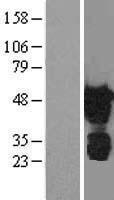 NBL1-17895 - TAZ Lysate