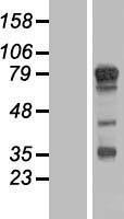 NBL1-16722 - TBC1D14 Lysate