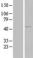 NBL1-16725 - TBC1D19 Lysate