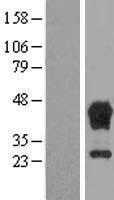 NBL1-16736 - TBCC Lysate