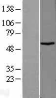 NBL1-16737 - TBCCD1 Lysate