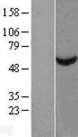 NBL1-16738 - TBCE Lysate