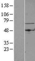 NBL1-16744 - TBRG4 Lysate