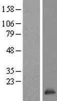 NBL1-16766 - TCEB2 Lysate