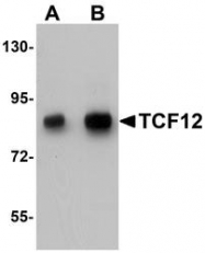NBP1-76304 - TCF12