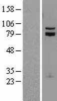 NBL1-16771 - TCF12 Lysate