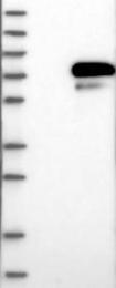 NBP1-89680 - HNF1 beta / TCF2