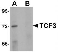NBP1-77119 - TCF3 / E2A