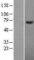 NBL1-16775 - TCF4 Lysate