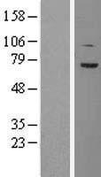 NBL1-16776 - TCF4 Lysate
