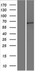 NBL1-16777 - T cell Transcription Factor 4 Lysate