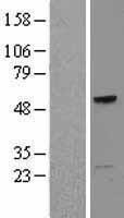 NBL1-16783 - TCN1 Lysate