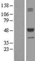 NBL1-16784 - TCN2 Lysate