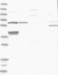 NBP1-88148 - CCT1 / TCP1
