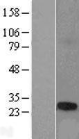 NBL1-16788 - TCP10L Lysate