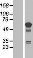 NBL1-16789 - TCP11L1 Lysate